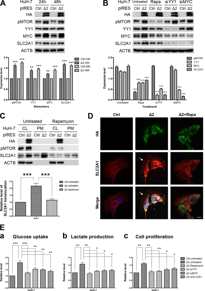 Pre-S2 mutant activated MTOR/YY1/MYC/SLC2A1 signaling cascade to promote SLC2A1 translocation, aerobic glycolysis, and growth advantages in HuH-7 cells: (A and B) HuH-7 cells were transfected with pre-S2 mutant or control plasmid (Ctrl). After 24 hours (h), cells were left untreated or treated with rapamycin (Rapa), YY1 siRNA (si YY1 ) and MYC siRNA (si MYC ) for another 24 hours, and analyzed by Western blot for the indicated biomarkers. (C) Western blots of the whole cell lysate fraction (CL) and the plasma membrane fraction (PM). SLC2A1 translocation represented the level of SLC2A1 in the PM fraction. (D) Confocal microscopy and IF staining of HA (green), SLC2A1 (red), and DAPI (blue). Arrows indicate the peripheral expression of SLC2A1. Original magnification, ×80. Scale bar, 20 μm. (E) For functional in vitro assays, HuH-7 cells transfected with pre-S2 mutant or control plasmid with or without further treatment were subjected to glucose uptake (a), lactate production (b), and cell proliferation (c) assays 48 hours after transfection. Data in each experiment were presented as relative values to the untreated control cells. All the transfection experiments were performed in triplicate and repeated at least three times independently.