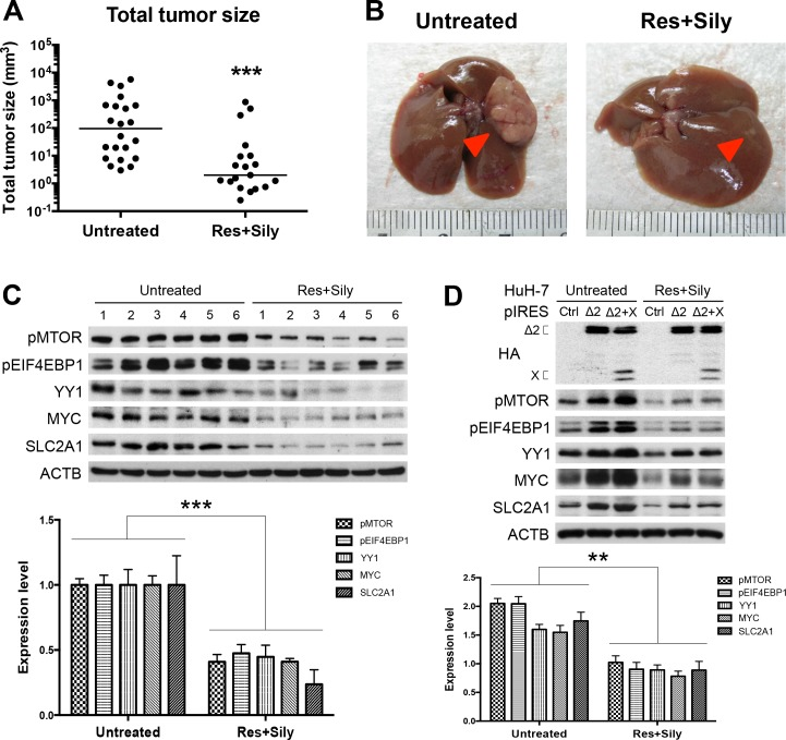 The MTOR/EIF4EBP1/YY1/MYC/SLC2A1 signaling mediated the chemopreventive effect of combined resveratrol and silymarin product on tumor growth: Total tumor size (A) and gross view of representative HCCs (B) with or without treatment of resveratrol (Res) and silymarin (Sily). Arrows indicate tumors. (C and D) Western blot analysis revealed a lower expression level of MTOR signal cascade in the treated cells and mice group (six smallest tumor adjacent tissues) than the untreated cells and mice group (six biggest tumor adjacent tissues). Quantitative results by coexpression of pre-S2 mutant and X proteins were relative to the untreated control cells and mice.