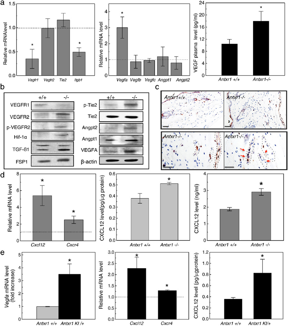 Cell signaling changes in skin of mutant mice. (a) Real-time PCR shows reduced transcript levels for Vegfr1 and Itgb1 (left) and 3-fold increase in Vegfa transcripts (middle) in mutant skin extracts; ELISA shows 2-fold increase in VEGF plasma levels (right) in mutant mice (n = 6; *P