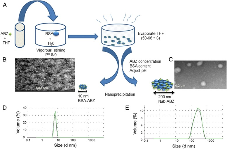 Synthesis and characterization of nab-ABZ. Schematic illustration of albendazole encapsulation by albumin nanoparticles (A) . TEM images of BSA-ABZ 10 nm (B) , the scale bar is 500 nm and TEM images of Nab-ABZ 200 nm (C) , and the scale bar is 0.2 μm. Size distribution (volume %) measured by DLS of BSA-ABZ 10 nm (D) and Nab-ABZ 200 nm (E) . Data are presented as the average of two measurements. TEM images confirmed the particle size of DLS.