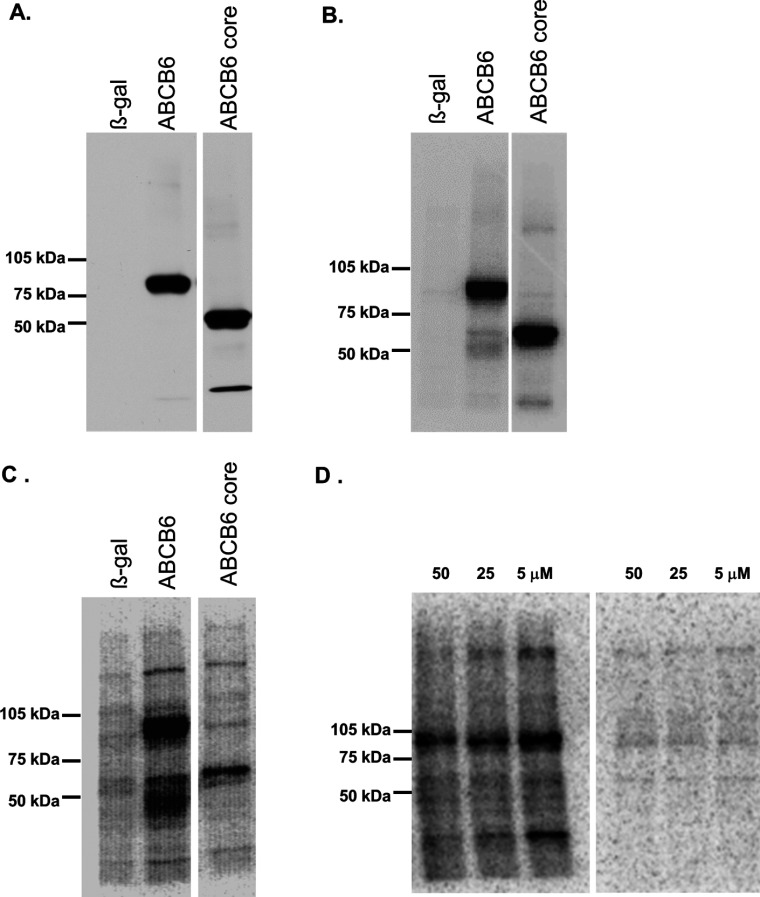 Functional expression of ABCB6 variants in insect cells ( A ) Expression of the ABCB6–core domain in Sf9 insect cells. Isolated Sf9 membranes (2 μg of protein per lane) expressing β-galactosidase (β-gal, lane 1), ABCB6 (lane 2) and ABCB6–core (lane 3) were separated by SDS/PAGE (7.5% gel) and were electroblotted on to PVDF membranes. Immunoblotting was performed using monoclonal anti-ABCB6-567 antibody as described in the Experimental section. Membrane proteins are only core–glycosylated in insect cells [ 6 ], which is consistent with the apparent molecular mass of 95 kDa, corresponding to under-glycosylated ABCB6. ( B ) TMD 0 is not required for ATP binding. Isolated Sf9 membranes expressing β-galactosidase (lane 1), ABCB6 (lane 2) and ABCB6–core (lane 3) were incubated with 5 μM 8-azido-[α- 32 P]ATP under non-hydrolytic conditions (at 4°C) for 5 min, followed by UV irradiation in the presence of the labelled nucleotide as described in the Experimental section. ( C ) TMD 0 is not required for ATP hydrolysis. Isolated Sf9 membranes expressing β-galactosidase (lane 1), ABCB6 (lane 2) and ABCB6–core (lane 3) were incubated with 5 μM 8-azido-[α- 32 P]ATP and 0.4 mM sodium orthovanadate under catalytic conditions (at 37°C) as described in the Experimental section. Both the full-length and the N-terminally truncated ABCB6–core are capable of ATP binding and hydrolysis. The lower-molecular-mass bands seen in lane 2 correspond to proteolytic fragments and products of vanadate-induced photocleavage [ 60 , 61 ]. ( D ) Mutation of the conserved Walker A lysine is compatible with ATP binding but abolishes nucleotide trapping of ABCB6. Isolated Sf9 membranes expressing-ABCB6-K 629 M were incubated with 5–50 μM 8-azido-[α- 32 P]ATP under non-hydrolytic (left) and hydrolytic (right) conditions as described in the Experimental section.