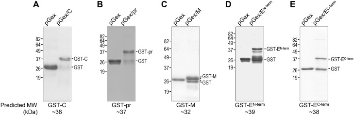 Production of five GST fusion proteins, each containing a non-hydrophobic region from the JEV structural protein-coding region. GST fusion proteins were expressed from pGex-4T-1 vector in E . coli and purified from bacterial lysates by affinity chromatography using glutathione-Sepharose. About 5–10 μg of each purified protein was resolved on a SDS-polyacrylamide gel and stained with Coomassie blue. The five GST fusion proteins we generated are: GST-C ( A ), GST-pr ( B ), GST-M ( C ), GST-E N-term ( D ), and GST-E C-term ( E ). Free GST protein was used as control. Molecular weight markers are indicated in kDa on the left side of each panel, and GST and GST fusion proteins are marked on the right side. The predicted molecular weights are indicated at the bottom of each panel.
