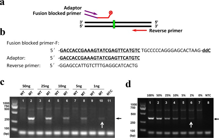 Sensitivity and selectivity of the modified PR-PCR for mutation detection using a fusion-blocked primer and adaptor. (a) Diagram of the fusion-blocked primer and adaptor used in the reactions. (b) Primer and adaptor sequences. (c) Sensitivity of the modified PR-PCR. (d) Selectivity of the modified PR-PCR. All reactions were performed in a total volume of 25 μL containing a mixture of 1 μL of gDNA template at 50 ng/μL, 2.5 μL of (10×) Taq PCR buffer, 0.2 mM dNTPs, 0.15 U of PrimeSTAR HS DNA polymerase, 0.75 U of Taq DNA polymerase, 1 μL of DMSO and 0.3 μM each of the reverse primer, fusion-blocked forward primer and adaptor. The DNA templates were prepared by mixing different amounts of MCF-7 (WT) gDNA (from 0 to 50 ng) among HCC1937 (mutant type, MT) gDNA (from 50 to 0 ng) with concentrations from 0 to 100%. The reactions were performed under cycling conditions consisting of pre-denaturation at 94°C for 2 min, followed by 40 cycles of denaturation at 98°C for 10 s, annealing at 59°C for 30 s and extension at 72°C for 20 s.