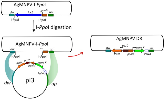 Schematic representation of the recombination system. Parental genome (AgMNPV-I -Ppo I) is linearized by digestion with I -Ppo I, and co-transfected with the transfer vector (pI3). Homologous recombination restores genome viability (re-circularization) generating recombinant progeny. Sequences flanking the original polh gene, where recombination can occur, are indicated as dw (511 bp downstream polh ORF stop codon; AgMNPV genome nucleotide positions 132,239–131,729) and up (610 bp upstream the polh promoter; AgMNPV genome nucleotides positions 934–1543). See [ 4 ] for AgMNPV genome nucleotide numbers.