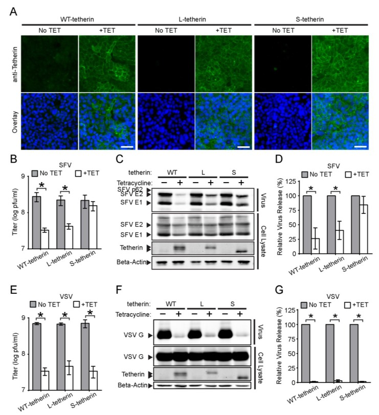 Effects of tetherin isoforms on SFV and VSV release. ( A ) Populations of Tet-On cells that inducibly express the long and short isoforms of tetherin (Tetherin-WT), or solely L-tetherin or S-tetherin were incubated in the presence or absence of tetracycline (TET) for 24 h. Nuclei (Blue) and cell surface expression of tetherin (Green) were detected as in Figure 1 A. Bars = 50 µm; ( B – D ) SFV release assay. The indicated Tet-On cells were induced as in Figure 7 A, and infected with SFV for 7 h. SFV particles released into the culture medium were either ( B ) titered or ( C – D ) pelleted for SDS-PAGE,WB and quantitation of release as in Figure 2 . Tetherin isoforms were detected by WB; the gel shows the migration of the tetherin dimers. ( E – G ) VSV release assay, performed, titered ( E ), analyzed ( F ) and quantitated ( G ) as in B – D using a mAb to VSV-G. Graphs represent the mean and SD of three independent experiments. Note that all titers are graphed in a log plot.