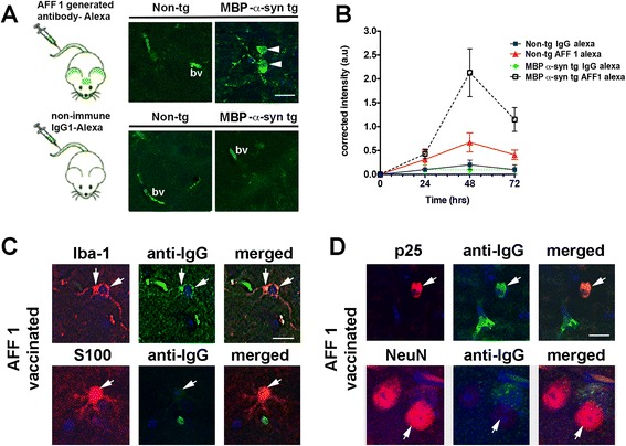 Trafficking of AFF 1-induced antibodies into the CNS of MBP-α-syn tg mice. (A) Monoclonal AFF 1-induced antibodies were tagged with Alexa-488 and administered to non-tg or MBP-α-syn mice. Alexa-488 tagged mAb-AFF 1 bounded α-syn within cell bodies (arrow-head) and blood vessels (bv). As negative control, a non-immune Alexa-488-tagged IgG1 was used. Scale bar = 5 μm (B) mAb-AFF 1 or non-immune IgG1 were tagged with Alexa-488 and administered to non-tg or MBP-α-syn mice. Time course analysis was performed every 24 h for 3 days, and fluorescence was only increased in brain sections of MBP-α-syn tg animals injected with Alexa-488-tagged mAb-AFF 1. Results are shown as corrected intensity values and expressed as average ± SEM. n = 3 animals per group and time point (C) AFF 1-induced antibodies were detected with and FITC-tagged anti-mouse antibody in brain sections of immunized MBP-α-syn tg mice (green), together with an antibody against Iba1 (microglia) or S100 (astrocytes) (red). Cell nuclei were stained with DAPI (blue). Colocalization was observed in microglial cell bodies and projections, but not in astroglial cells (arrows) (D) AFF 1-induced antibodies detected with and FITC-tagged anti-mouse antibody in brain sections of immunized MBP-α-syn tg mice (green), together with an antibody against p25 (oligodendrocytes) or NeuN (neurons) (red). Cell nuclei were stained with DAPI (blue). Colocalization was observed in oligodendroglial cell bodies, but not in neurons (arrows). Scale bar = 5 μm.