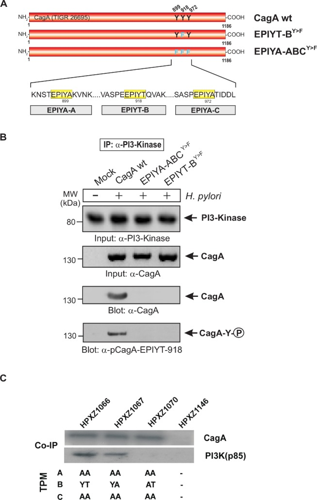 PI3-kinase can interact with B-TPM of CagA during co-culture. Panel A : Site-directed mutagenesis of CagA TPM-motifs A, B and C was performed to generate the indicated phospho-resistant variants. Tyrosine residues in adjacent TPM-motifs were replaced by phenylalanines. The resulting single and triple mutants were named as indicated and complemented into the H. pylori Δ cagA mutant. Panel B : AGS cells were co-cultured with the various CagA-expressing H. pylori strains for 6 h as indicated. Cell extracts were harvested and subjected to reverse immunoprecipitation (IP) using α-PI3-kinase antibodies. All samples contained similar amounts of PI3-kinase in the input control. CagA presence and phosphorylation at the EPIYT-site in the IPs was examined using phospho-specific α-pCagA-EPIYT-918 and α-CagA antibodies (arrows). Only the lane with H. pylori expressing CagA wt revealed a signal for CagA and phosphorylation at EPIYT-918 in the IP, indicating that phosphorylated EPIYT-B is necessary for the interaction with PI3-kinase. Panel C : After 24 h co-culture of AGS cells with the isogenic H. pylori strains containing the engineered CagA molecules, whole cell lysates were subjected to immunoprecipitation with an anti-CagA antibody. The anti-CagA immunoprecipitates (IP) were separated on SDS-PAGE, followed by western blot with anti-PI3-kinase (p85), which indicated that the engineered CagA B-EPIYA and CagA B-EPIYT molecules have different affinity to the PI3-kinase protein in AGS cells.