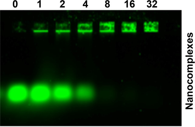 Characterization of FA-HP-β-CD-PEI/DOX/siRNA FAM nanocomplexes by gel electrophoresis assay. Notes: The agarose gel electrophoresis showed the behavior of nanocomplexes with various N/P ratios (0, 1, 2, 4, 8, 16, and 32). When the N/P ratio was 16:1, the siRNA was retarded completely, and this N/P ratio was used in the following experiments. siRNA FAM Ex =488 nm, Em =535 nm, and the concentration was 100 nM. The gel was 1.5% and run for 10 minutes at 150 V. Abbreviations: DOX, doxorubicin; siRNA FAM , small interfering RNA link with FAM green fluorescent dye; FA, folic acid; HP-β-CD, hydroxypropyl-β-cyclodextrin; PEI, polyethylenimine; Ex, excitation; Em, emission.