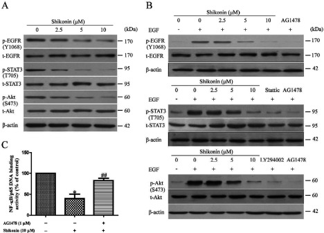 Shikonin inactivated NF-κB via inhibiting EGFR signalling pathways in A431 cell The A431 cells were treated with various concentrations of shikonin (0, 2.5, 5 and 10 μM) for 2 h. ( A ) Western blot analysis was performed for p-EGFR and t-EGFR, p-STAT3 and t-STAT3, p-Akt and t-Akt respectively. The A431 cells were pre-treated with various concentrations of shikonin (0, 2.5, 5 and 10 μM) for 2 h, followed by treatment with EGF (100 ng/ml) for 10 min. The EGFR inhibitor (AG1478, 20 μM), Stattic (STAT3 inhibitor, 2 μM) and LY294002 (PI3K inhibitor, 10 μM) were used as a positive drug control respectively. ( B ) Protein expression levels of p-EGFR and t-EGFR, p-STAT3 and t-STAT3, p-Akt and t-Akt were detected by western blot analysis. A431 cells were pre-treated with or without AG1478 for 2 h and then were treated with shikonin (10 μM) for 2 h. ( C ) NF-κB DNA-binding activity assay. All data are presented as mean ± S.E.M., n =6. * P