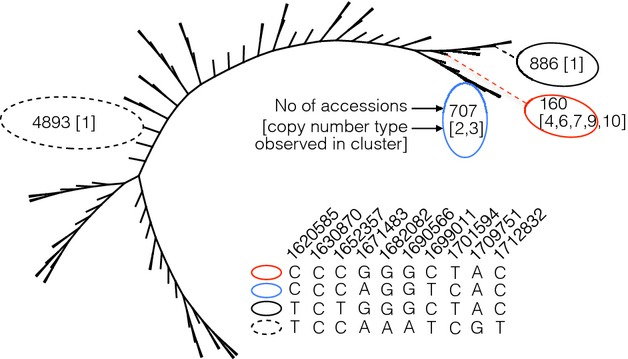 Parsimony tree of 15 996 soybean accessions with high confidence data at all single nucleotide polymorphisms (SNPs) in the S2 linkage disequilibrium block surrounding Rhg1 . The four terminal branches containing all <t>germplasm</t> accessions described elsewhere in the manuscript are labelled, together with the number of accessions carrying the same combination of SNPs.