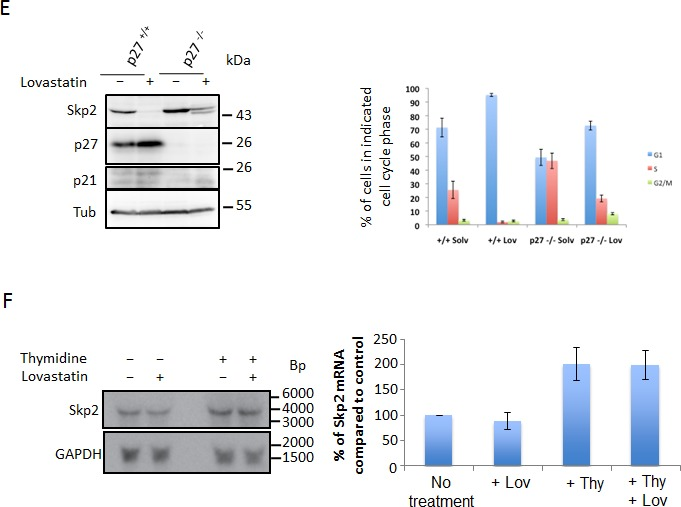 Lovastatin induces downregulation of the Skp2 protein (A) HeLa cells growing asynchronously or arrested in S-Phase by treatment with 2mM thymidine for 24 hours, were then treated or left untreated with 40μM lovastatin for a further 24 hours and analysed by (A) immunoblotting. (B) LnCAP and HeLa cells (C) were incubated with 10μM and 40μM lovastatin respectively for the indicated times and analysed by immunoblotting. (D) HeLa cells stably expressing Skp2 from a PGK promoter were generated by lentiviral transfection. These cells were treated with 40μM lovastatin for 24 hours and then subjected to immunoblotting analysis. Percentages of cells in the different cell cycle phases were determined by flow cytometric analysis of three independent experiments using propidium iodine and BrdU double staining (Bar graph; data are represented as mean +/− SEM). (E) Control MEFs and p27 −/− MEFs were treated with 20μM lovastatin for 24 hours as indicated, harvested and analysed by western blotting analysis (left panel). Flow cytometry analysis of BrdU labeled cells to determine cell cycle phase distribution was performed. The percentage of cells in G1, S or G2/M phase is shown for at least three independent experiments (right panel). (F) Skp2 mRNA analysis of HeLa cells treated as described in Fig. 1A . Northern blots from three independent experiments were quantified using a PhosphorImager and the relative abundance of the Skp2 mRNA is shown (bar graph; data are represented as mean +/− SEM).