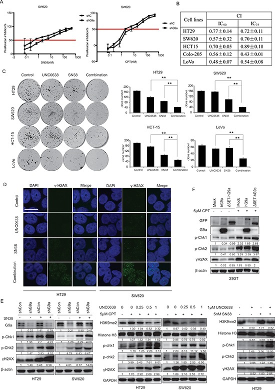 G9a depletion synergizes with TOPO I inhibitors in CRC cells (A)  SW620 shG9a or shCon cells were treated with different concentrations of SN38 or CPT, followed by subsequent proliferation inhibition assessment using the SRB assay. CRC cells were treated with different concentrations of UNC0638 and/or SN38, and  (B)  cell proliferation was measured with the SRB assay and CIs were calculated, ( C)  colony formation was measured.  (D)  Protein levels of γH2AX were analyzed by microscopy (scale bar 10 μM), and  (E)  protein levels of histone H3, H3K9me2, p-Chk1, p-Chk2, γH2AX and GAPDH were determined by western blot.  (F)  Protein levels of GFP, G9a, p-Chk1(Ser 317), p-Chk2 (Thr 68), γH2AX, and β-actin (loading control) from 293T cells stably transfected with pLEX-mock, pLEX-hG9a, or pLEX-ΔSET-hG9a and treated with the indicated concentrations of CPT. Data are means ± SD,  n  ≥ 3. ** P