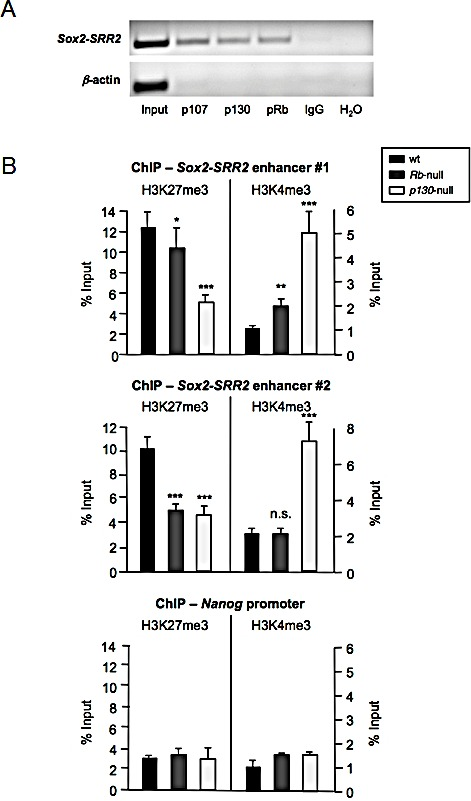Binding of the Rb family of pocket proteins to the Sox2 - SRR2 enhancer and effect of their absence on histone marks a, Chromatin immunoprecipitation (ChIP) assay using antibodies against p107, p130, and pRb followed by semi-quantitative PCR using primers amplifying the Sox2-SRR2 . Primers amplifying β-actin promoter and IgG were used as negative controls. b, ChIP of repressive H3K27me3 and active H3K4me3 histone marks in the Sox2-SRR2 enhancer of wt, Rb -null, and p130 -null MEFs, using two different sets of primers amplifying the Sox2-SRR2 enhancer (upper and middle panels). Control ChIP assay using primers amplifying Nanog promoter is shown at the bottom panel. All data correspond to the average ± s.d. of qPCR data. Statistical significance was assessed by the two-tailed Student's t-test: *** p