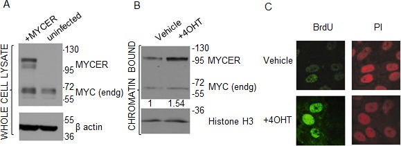 MCF10A-MYCER cells: a model for MYC deregulation (A) MCF10A-MYCER cells express MYCER protein. Whole cell lysates from uninfected or MYCER-infected MCF10A cells were analyzed by SDS-PAGE. The positions of endogenous MYC and MYCER are indicated. (B) MYCER protein is activated in response to 4OHT treatment. Nuclear translocation of MYCER was analyzed by cell fractionation followed by SDS-PAGE of the chromatin-bound fraction from MCF10A-MYCER cells treated with vehicle or 200nM 4OHT for 48 hr. MYCER increase was normalized to histone H3 levels for quantification. (C) MYCER activation induces accelerated entry into S phase. MCF10A-MYCER cells were arrested at G1/S with double thymidine. Cells were treated with vehicle (ethanol) or 4OHT, then pulse labeled with BrdU 1 hr after release into S phase. BrdU incorporation was assessed using indirect immunofluorescence. PI=propidium iodide was used to stain genomic DNA.