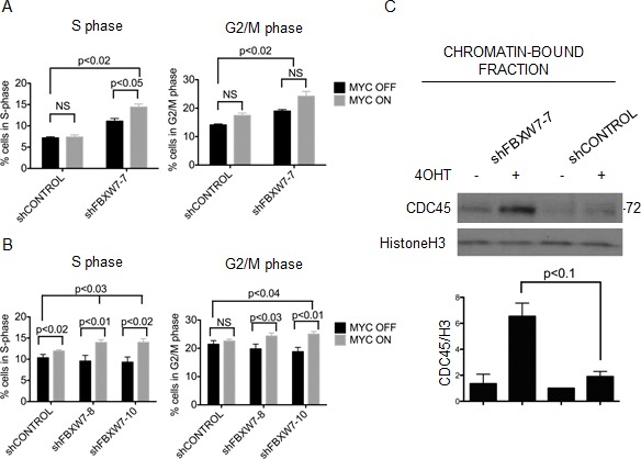MYCER stabilization results in accumulation of cells in S/G2 phase and chromatin-bound CDC45 (A) Constitutive knockdown of FBXW7 with MYCER activation results in additive accumulation of cells in S and G2/M phase. MCF10A-MYCER cells with control or FBXW7 knockdown were cultured for 7 days in the absence or presence of 4OHT (MYC OFF or MYC ON). Cells were fixed and stained with propidium iodide for cell cycle analysis. Results are averages of 3 independent experiments and error bars represent the SEM. (B) Inducible knockdown of FBXW7 with MYCER activation results in accumulation of cells in S and G2/M phase. Control or FBXW7 knockdown cells were cultured for seven days with 1μg/ml doxycycline and vehicle or 4OHT every 72 hr. Results are averages of 3 independent experiments and error bars represent the SEM. (C) Loss of FBXW7 with MYCER activation causes accumulation of CDC45 on chromatin. MCF10A-MYCER cells with control or FBXW7 knockdown were cultured for 7 days with or without 4OHT and fractionated. Fraction P3 was analyzed on SDS-PAGE. Shown is a representative image of CDC45 blot, and graph shows the average of 3 independent experiments each normalized to histone H3. Error bars represent the SEM.