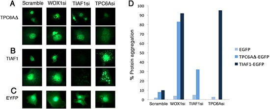 Induction of TPC6A and TIAF1 aggregation upon knockdown of endogenous WOX1 by siRNA (A–C) <t>COS7</t> cells were transfected with expression plasmid constructs for EYFP-TPC6AΔ, EYFP-TIAF1, or EYFP, in the presence of one of the siRNA-expressing constructs, including scramble, WOX1si, TIAF1si and TPC6Asi. 24 hours later, protein aggregation was examined by fluorescent microscopy (~150 cells counted). Data are shown in duplicates for (A) and (B). (D) Tabulated data is shown.