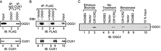 Interaction between OGG1 and CUX1 (A and B) 293T cells were transfected with CUX1 (CR2CR3HD; map in Figure 2A ), FLAG-OGG1 or the empty vector, as indicated. (A) Total protein extracts were loaded on gel (input) or were submitted to immunoprecipitation with the indicated antibodies (Preimmune; IgG or CUX1) and then immunoblotted with FLAG and CUX1 antibodies. (B) Total protein extracts were submitted to immunoprecipitation with Flag antibodies in the absence or presence of ethidium bromide. (C) A pull-down assay was performed using purified GST-OGG1 and either beads bound to his-tagged CUX1-CR1CR2, HOXB3 or vector alone, followed by immunoblotting with anti-OGG1 in the presence and absence of ethidium bromide or after treatment of protein samples with benzonase.