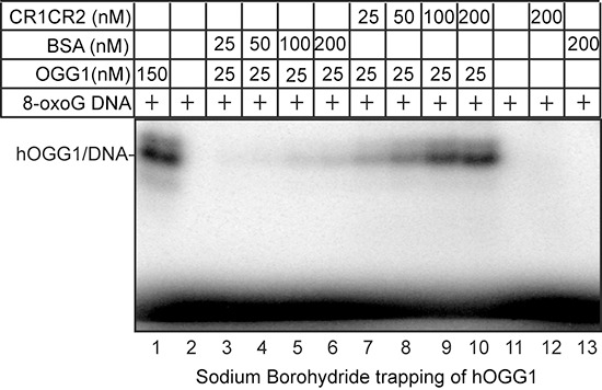 Sodium borohydride trapping of OGG1 enzyme in the presence of CR1CR2 5′-end-labeled 32-mer duplex containing an 8-oxoG was incubated with hOGG1 and CR1CR2 or BSA at the indicated concentrations. After incubation at 37°C, 50 mM sodium borohydride was added. The reactions were pursued for another 5 min at 37°C. After termination of the reaction, the trapped complexes were separated from free substrate by 10% SDS-PAGE gel.