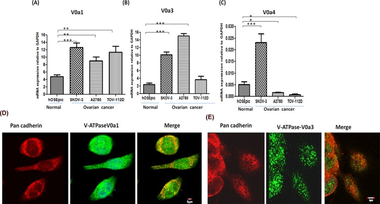 Expression profiling of V-ATPase 'a' subunit isoforms in ovarian cancer Real time PCR was used to quantify the relative mRNA amounts of V-ATPase V0'a' isoforms (V0a1/V0a3/V0a4) in ovarian cancer cell lines. The ovarian cancer cells exhibited higher mRNA levels of (A) V0a1 and (B) V0a3 isoforms in ovarian cancer cell lines compared to normal control epithelial cells of ovary. (C) V0a4 isoform levels were very low and variable in different cell lines. The Ct values were normalized against the Ct values obtained for GAPDH from the same preparation. The data are provided as Mean ± SD from 3 independent experiments. (*** p
