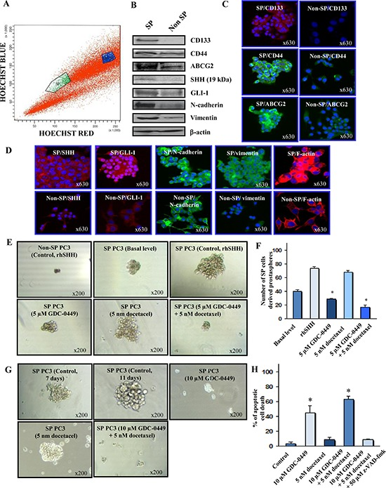 Characterization of phenotypic and functional features of SP and non-SP cell fractions from metastatic and AI PC3 cells and cytotoxic effects induced by GDC-0449 and docetaxel on SP PC3 cells (A) Representative data of the Hoechst dye efflux profile obtained after staining of parental PC3 cell line with fluorescent Hoechst dye showing the SP cell subpopulation (green) and non-SP fraction (blue) detected in the total mass of PC3 cells. (B) Western blot analyses of expression levels of prostatic stem cell-like markers (CD133 and CD44, multidrug transporter ABCG2), SHH, GLI-1, mesenchymal associated molecules (N-cadherin and vimentin) and <t>β-actin</t> detected in SP cells versus non-SP cell fraction isolated from parental PC3 cell line. (C) and (D) Representative pictures of the immunofluorescence analyses of the expression levels and cellular localization of markers in SP and non-SP PC3 cells shown at the original magnification of × 630. (E) Representative pictures of the dense prostaspheres formed by SP PC3 cells without or after a treatment with rhSHH as compared to diffuse, abortive and very small aggregates formed by SHH-stimulated non-SP PC3 cells. Moreover, the prostaspheres derived from PC3 cells untreated or treated with 5 uM GDC0449 and 5 nM docetaxel, alone or in combination, are shown at a similar magnification of × 200. (F) The self-renewal capability of SP cells versus the non-SP cell fraction from PC3 cells was estimated based on their ability to form the non-adherent aggregates in serum-free culture conditions under ultra-low attachment plate (Corning, Invitrogen). The quantitative data of the number of prostaspheres formed by the SP PC3 cell fraction without (basal level) or after a treatment with exogenous rhSHH in the absence (control) or presence of 5 μM GDC-0449 and 5 nM docetaxel, alone or in combination, are also shown. * p