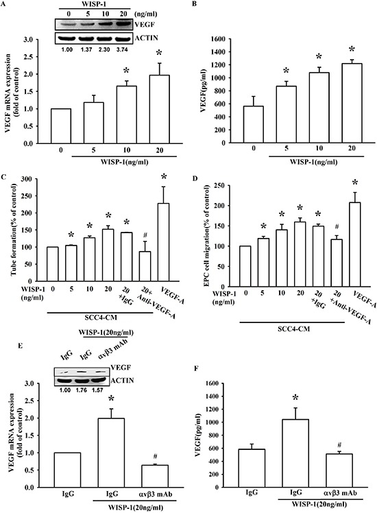 WISP-1 regulates the angiogenesis by raising VEGF-A expression in OSCC cells (A–B) SCC4 cells were incubated with WISP-1 (0–20 ng/mL) for 24 h, VEGF-A expression was measured by qPCR, ELISA, and western blot. (C–D) SCC4 cells were incubated with WISP-1 (0–20 ng/mL) for 24 h, and the CM was collected. EPCs were pre-treated for 30 min with IgG control antibody or VEGF-A antibody (1 μg/mL) and incubated with CM for 6 h and cell capillary-like structure formation in EPCs was examined by tube formation assay (C) EPCs were incubated with CM for 24 h, and cell migration was examined using the transwell assay (D) (E–F) SCC4 cells were incubated with the integrin αvβ3 antibody for 30 min, followed by stimulation with WISP-1 (20 ng/mL) for 24 h. VEGF-A expression was examined by western blot, qPCR, and ELISA. Data are expressed as mean ± SEM * P