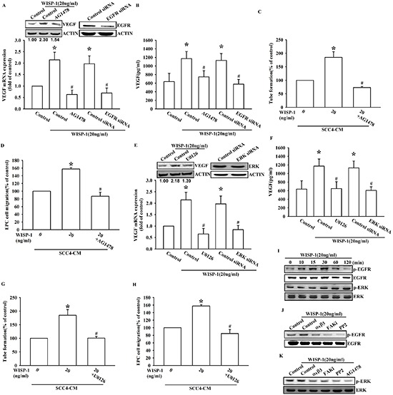 EGFR transactivation is involved in WISP-1-induced VEGF-A expression and contributing to angiogenesis (A–D) SCC4 cells were pre-treated with an EGFR inhibitor (AG1478; 1 μM) for 30 min or transfected with EGFR siRNAs for 24 h, followed by WISP-1 (20 ng/mL) stimulation for 24 h. The assay procedures were performed as described in Figure 3A–3D . (E–H) SCC4 cells were treated by an ERK inhibitor (U0126; 1 μM) for 30 min or transfected with ERK siRNAs for 24 h, followed by WISP-1 (20 ng/mL) stimulation for 24 h. The assay procedures were performed as described in Figure 3A–3D . (I) SCC4 cells were incubated with WISP-1 (20 ng/mL) for the indicated times and EGFR and ERK phosphorylation was determined by western blot. (J–K) SCC4 cells were incubated with the integrin αvβ3 antibody, FAKi, PP2, or AG1478 for 30 min, followed by stimulation with WISP-1 (20 ng/mL) for 60 min, and EGFR (J) and ERK (K) phosphorylation was determined by western blot. Data are expressed as the mean ± SEM * P