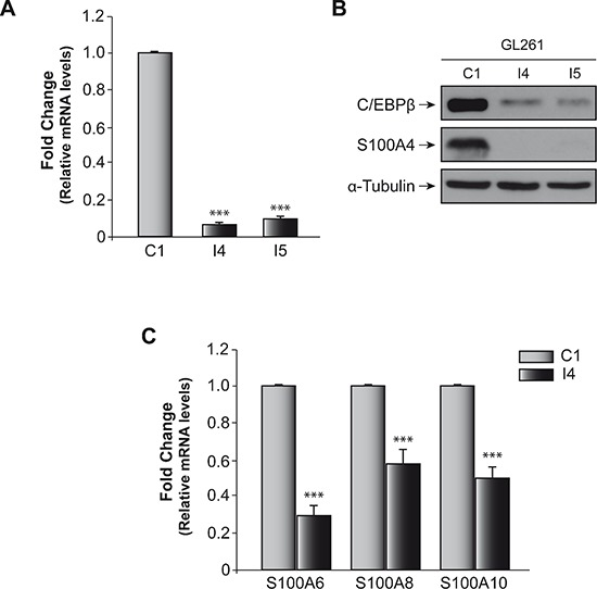 Effect of C/EBPβ on S100A4 expression in glioblastoma murine GL261 cell line (A) Quantification of S100A4 mRNA levels in GL261 control cell line (C1) and C/EBPβ-depleted (I4, I5) cells by quantitative real time-PCR. As indicated in Methods, we used Taqman probes specifics to S100A4 and β-Actin mouse. The graphic shown the means of values 2 −ΔΔCt of S100A4/β-actin ± SD. *** p