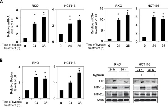 Hypoxia induces LIF expression levels in human colorectal cancer cell lines Human colorectal cancer cell lines RKO and HCT116 cells were cultured under the hypoxic condition for the indicated time periods. (A) The mRNA expression levels of LIF in these cells were determined by Taqman real-time PCR and normalized with actin (left panels). The mRNA expression levels of VEGF in these cells were determined as a positive control (right panels). (B) The LIF protein levels were determined by Elisa assays (left panels) and Western-blot assays (right panels), respectively. Data are presented as mean ± SD ( n = 3). *: p