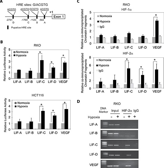 Hypoxia transactivates hypoxia-responsive elements (HREs) in the LIF promoter through HIF-2α (A) The human LIF gene contains 4 putative HREs in its promoter region. (B) Hypoxia activates the luciferase activity of reporter vectors containing HRE-C or HRE-D sites in the LIF promoter. RKO and HCT116 cells were transfected with the luciferase reporter vectors, and then subjected to hypoxia treatment for 36 h before measuring luciferase activities. Luciferase reporter vectors containing the HRE site in the VEGF promoter was included as a positive control. (C) and (D) HIF-2α but not HIF-1α binds to HRE-C and HRE-D sites in the LIF promoter under the hypoxic condition in RKO cells as determined by ChIP assays. Cells were cultured under the hypoxic or normoxic conditions for 36 h before assays. The HRE site in the VEGF promoter serves as a positive control. The amount of DNA fragments pulled-down was determined by real-time PCR (C) or conventional PCR (D) . Data are presented as mean ± SD ( n = 3). *: p
