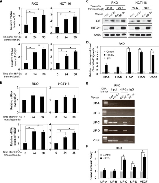 HIF-2α transcriptionally regulates LIF expression (A) Ectopic HIF-2α expression increases LIF and VEGF mRNA expression levels in RKO and HCT116 cells. The mRNA expression levels of LIF and VEGF were determined by Taqman real-time PCR and normalized with actin. (B) Ectopic HIF-1α expression increases VEGF mRNA expression levels but has no obvious effect on LIF mRNA expression levels in RKO and HCT116 cells. (C) Ectopic HIF-2α expression increases LIF protein levels in RKO and HCT116 cells as determined by Western-blot assays. (D) and (E) HIF-2α binds to HRE-C and HRE-D sites in the LIF promoter in RKO cells transfected with HIF-2α expression plasmids as determined by ChIP assays. The amount of DNA fragments pulled-down was determined by real-time PCR (D) or conventional PCR (E) . The HRE site in the VEGF promoter serves as a positive control. (F) HIF-2α activates luciferase activity of reporter vectors containing HRE-C or HRE-D sites in the LIF promoter in RKO cells transfected with HIF-2α expression plasmids. Luciferase reporter vectors containing the HRE site in the VEGF promoter was included as a positive control. Data are presented as mean ± SD ( n = 3). *: p
