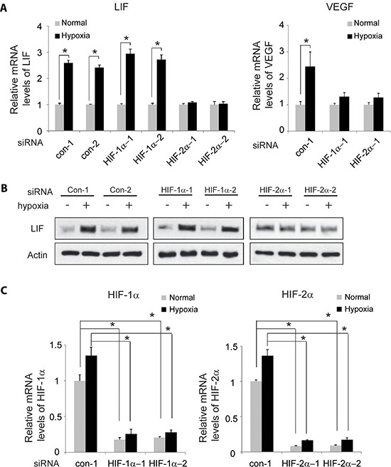 HIF-2α mediates the induction of LIF expression by hypoxia Knockdown of endogenous HIF-2α but not HIF-1α largely abolishes the induction of LIF expression by hypoxia in RKO cells. Cells with knockdown of endogenous HIF-1α, HIF-2α by siRNA oligos or transfected with control siRNA were treated with hypoxia for 36 h. Two different siRNA oligos against HIF-1α and HIF-2α, respectively, were used, and similar results were obtained. (A) The mRNA expression levels of LIF (left panel) and VEGF (right panel) were determined by Taqman real-time PCR and normalized with actin. (B) The LIF protein levels were determined by Western-blot assays. (C) The knockdown of HIF-1α (left panel) and HIF-2α (right panel) in cells was confirmed at the mRNA level by Taqman real-time PCR and normalized with actin. Data are presented as mean ± SD ( n = 3). *: p
