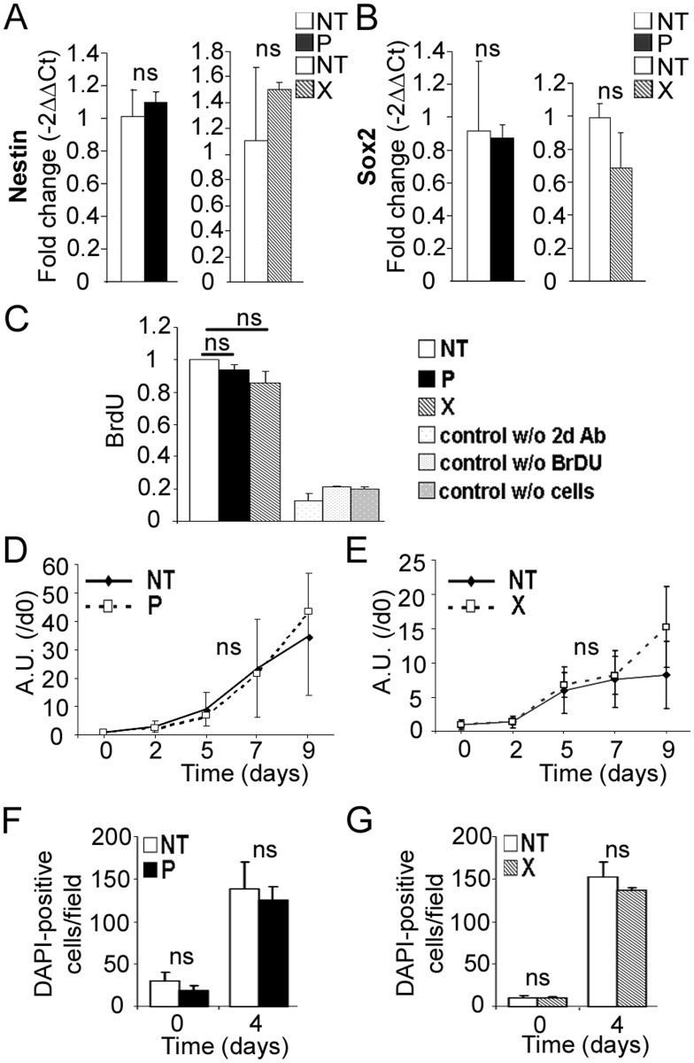 Expression of bdv-p or bdv-x gene does not alter hNPCs at the undifferentiated stage. RNAs from bdv-p- and bdv-x -expressing hNPCs and their matched NT controls were analyzed by RT-qPCR for expression of (A) Nestin and (B) Sox2. Proliferation of bdv-p and bdv-x -expressing hNPCs was analyzed by BrdU labeling (C) and by a mitochondrial dehydrogenase activity-based assay (D and E) in the presence of growth factors and by enumeration of DAPI-positive cells (F and G) in the absence of growth factors. Results in A and B are representative of two independent experiments performed in triplicate. Results in C represent the mean of two independent experiments performed in quintuplicate. Results in D and E are representative of 2 independent experiments performed in quintuplicate. Results in F and G are from 1 experiment performed in triplicate. Statistical analyses were performed using the Mann-Whitney test. ns , non-significant (p > 0.5).