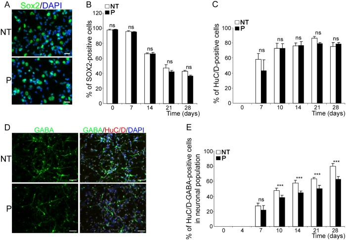 bdv-p expression does not alter neuronal specification but induces a reduction in the GABAergic subpopulation. Transduced hNPCs expressing bdv-p and their matched NT controls were induced to differentiate for 0, 7, 10, 14, 21 and 28 days and immunostained with antibodies directed against markers of different stages of differentiation. (A) immunostaining of hNPCs differentiated for 28 days with an anti-Sox2 antibody (green). Nuclei were counterstained with DAPI (blue). Scale bar, 20 μm. Time-course analyses showing the percentage of (B) Sox2-positive cells and (C) HuC/D-positive cells. (D) Immunostaining of hNPCs differentiated for 14 days with antibodies against HuC/D and GABA. Nuclei were stained with DAPI (blue). Scale bar, 50 μm. (E) Time-course analysis showing the percentage of huC/D- and GABA-positive cells in the total neuronal population. Results are representative of 2 (B) and 3 (C and E) independent experiments performed in triplicate. Statistical analyses were performed using the Mann-Whitney test. ***, p