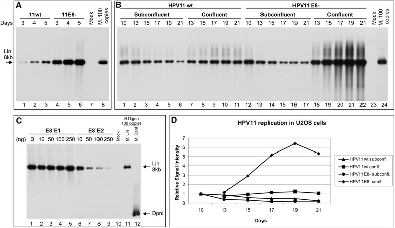 Transient, stable and amplificational replication of the HPV11wt and HPV11E8- genomes in U2OS cells. The mock-transfected cells were used as a negative control (A, lane 7, B, lane 23 and C, lane 10). The linearized HPV11 genome of 100 copies (A, lane 8, B, lane 24 and C, lane 11) and DpnI fragments (C, lane 12) was used as size markers, also indicated with arrows. (A) U2OS cells were transfected with 500 ng of the HPV11wt (lanes 1-3) or E8- (lanes 4-6) genome. Extrachromosomal DNA was extracted via Hirt lysis at 3, 4 and 5 days post-transfection, digested with HindIII and with DpnI. The replication signal was detected via the Southern blot method with a radiolabelled HPV11 genome probe. (B) U2OS cells were transfected with 500 ng of the HPV11wt (lanes 1-11) or HPV11E8- (lanes 12-22) genome, together with 2 μg of the linearized pBabe-Neo construct. The transfected cells were selected with the antibiotic G418, and at 10 days post-transfection, the cells were split and cultivated under either subconfluent (lanes 2-6 and 13-17) or confluent conditions (lanes 7-11 and 18-22). Total DNA was extracted at the time points indicated at top of the figure, and 3 μg of each sample was analyzed as indicated in A . (C) Effect of E8˄E1 and E8˄E2 proteins on viral genome replication. U2OS cells were transfected with 500 ng of the HPV11E8- genome with increasing amounts of either the E8˄E1 or E8˄E2 expression plasmid. Total DNA was extracted at 4 days post-transfection, and 3 μg of each sample was analyzed as indicated in A . (D) The quantitation of HPV11wt and E8- genome DNA replication signals at different time points at subconfluent and confluent culture conditions. The signals were normalized to 10 th day time point. Shown is one of two independent experiments.