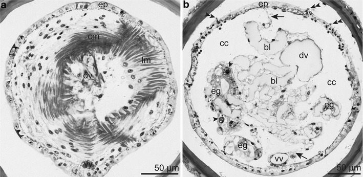 Semithin section series of the opisthosoma. a Opisthosomal septum consisting of an anterior circular and a posterior longitudinal myoepithelial layer. b Multicellular epidermal glands with prominent nuclei (arrowhead) filling the coelomic cavity of the opisthosoma. Median mesentery (arrow) provided with blood lacunae and suspending the ventral and dorsal blood vessel. Last one at a more median position. Double arrowhead = uncini. Abbreviations: bl = blood lacuna; cc = coelomic cavity; cm = circular muscle layer; dv = dorsal blood vessel; eg = epidermal gland; ep = epidermis; lm = longitudinal muscle layer; vv = ventral blood vessel