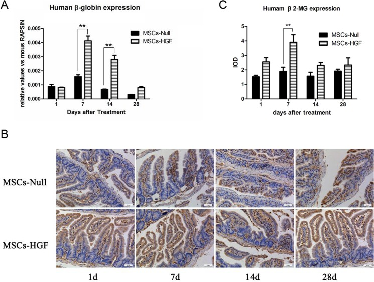 Engraftment of injected hMSCs into the intestine of RIII mouse model. To determine the engraftment of hMSCs into the intestine of RIII mice and compare the efficiency between Ad-HGF modified MSCs (MSCs-HGF) and Ad-Null modified MSCs (MSCs-Null), the expression of human <t>β-globin</t> gene and β2-microglobin in radiation-injured intestinal tissue were detected by quantitative PCR (qPCR) and immunostaining, respectively. At 1, 7, 14 and 28 days post-transplantation, the expression of human β-globin gene in MSCs-Null and MSCs-HGF treated RIII mice were analyzed by qPCR and normalized to the mouse <t>RAPSYN</t> gene (A). To further confirm the engraftment of MSCs into the injured intestinal tissue, the expression of β2-microglobin was detected in MSCs-Null and MSCs-HGF treated RIII mice (B), and were quantitatively analyzed based on IOD value (C). The results are presented as the means ± SD. ** p