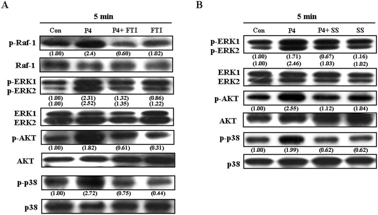 Kras and Raf-1 are the upstream molecules of the AKT/ERK1/2/p38 pathway involved in P4-induced increases in the levels of p21 cip1 and p27 kip1 protein in RASMCs. (A) Pre-treatment of RASMCs with a Kras inhibitor, FTI (10 μM), for 1 h prevented P4-induced increases in the levels of p-Raf-1, p-ERK1/2, p-AKT, and p-p38 protein. (B) Pre-treatment of RASMCs with a Raf-1 inhibitor, sulindac sulfide (10 μM), for 1 h prevented P4-induced increases in the levels of p-ERK1/2, p-AKT, and p-p38 protein. Data are representative of 2 independent experiments with similar results. Values shown in parentheses represent the quantified results adjusted with their own total protein level and expressed as ratio over control. Con, control. FTI, farnesyltransferase inhibitor; SS, sulindac sulfide.