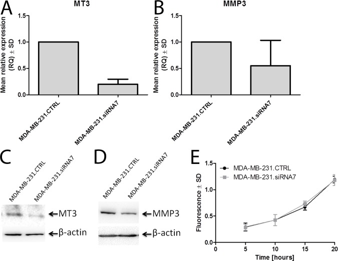 MT3 affects the expression of MMP3 in breast cancer MDA-MB-231 cells. Expression of MT3 mRNA (A) and MMP3 mRNA (B) in MDA-MB-231 cells treated with scrambled siRNA (MDA-MB-231.CTRL) and MDA-MB-231 cells treated with siRNA directed against MT3 mRNA (MDA-MB-231.siRNA7). Real-time PCR was used to analyze MT3 mRNA and MMP3 mRNA. Relative expression (RQ) of MT3 and MMP3 genes was normalized against expression of ACTB gene and MDA-MB-231.CTRL cells were assigned as a calibrator sample. Results are expressed as mean ± SD.