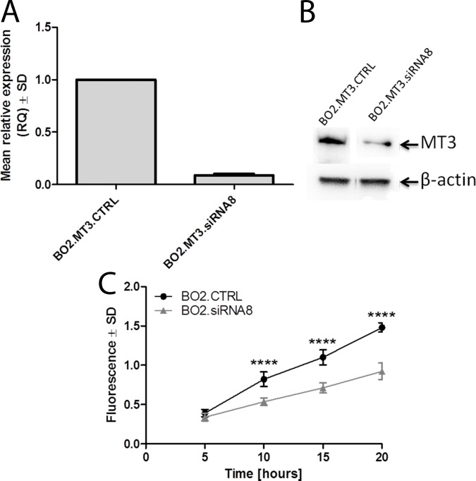 MMP3 is responsible for the increased invasiveness of MT3-overexpressing breast cancer cells. (A) Expression of MMP3 mRNA in control MDA-MB-231/BO2 cells transfected with scrambled siRNA (BO2.MT3.CTRL) and MDA-MB-231/BO2 cells treated with siRNA directed against MMP3 mRNA (BO2.MT3.siRNA8). Real-time PCR was used to analyze MT3 mRNA. Relative expression (RQ) of MMP3 gene was normalized against expression of ACTB gene and BO2.MT3.CTRL cells was assigned as a calibrator sample. Results are expressed as mean ± SD. (B) Western blot analysis using anti-MMP3 monoclonal murine antibody on whole cell lysates of control MDA-MB-231/BO2 cells transfected with scrambled siRNA (BO2.MT3.CTRL) and MDA-MB-231 cells treated with siRNA directed against MMP3 mRNA (BO2.MT3.siRNA8). Cell lysates equivalent to 30 μg of protein were separated by SDS-PAGE under reducing conditions on a 12% gel and electrophoretically transferred onto a nitrocellulose membrane. β-Actin served as an internal control . (C) Invasiveness of control MDA-MB-231/BO2 cells transfected with scrambled siRNA (BO2.MT3.CTRL) and MDA-MB-231 cells treated with siRNA directed against MMP3 mRNA (BO2.MT3.siRNA8). Data are presented as mean ± SD. ****p