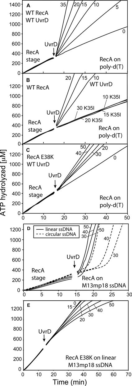 UvrD-mediated disassembly of RecA filaments formed on linear ssDNA. ( A ) WT RecA was allowed to form filaments on 3 μM poly(dT) DNA (average length 225 nucleotides) in the presence of ATP. All reactions in this and subsequent panels that utilize poly(dT) do not include SSB. After 15 min UvrD was titrated into the reactions at final concentrations shown on the graphs (in nM). ( B ) Reactions were carried out as in panel A, but UvrD K35 I was substituted for WT UvrD in the indicated reactions. ( C ) RecA E38K resists inhibition by UvrD. The RecA E38K variant was allowed to form filaments on poly(dT) as in panels A and B, and UvrD was titrated into the reaction at final concentrations (in nM) shown in the figure. ( D ) WT RecA protein was incubated in the presence of ATP either with 3 μM circular M13mp18 ssDNA (dashed lines) or linear M13mp18 ssDNA (solid lines). After 15 min UvrD was titrated into the reactions at the indicated concentrations (in nM). The average rate of RecA-mediated ATP hydrolysis on circular M13mp18 ssDNA is 24 μM/min and on lssM13 DNA is 21 μM/min. These reactions, and those in panel E, included SSB added with the ATP during the initial formation of RecA filaments. ( E ) The RecA E38K mutant was used. The experiment was set up as in C, but linear M13mp18 ssDNA was used in place of poly (dT).