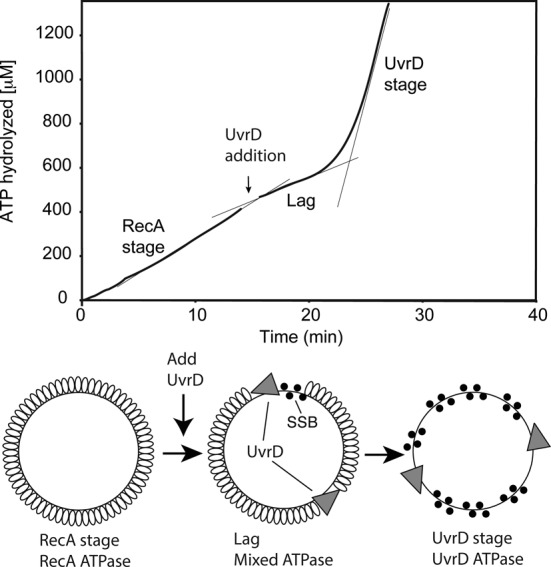 UvrD inhibits RecA-catalyzed ATPase activity. Reactions were carried out as described in Materials and Methods, and contained 3 μM circular M13mp18 ssDNA and 2 μM RecA protein. The reaction was initiated by addition of ATP (3 mM) and SSB (0.3 μM) as a mixture at t = 0. In the reaction shown, 50 nM UvrD (30 nM) was added at the point indicated by the arrow. The data following this addition have been corrected for a slight decline in absorption caused by a dilution effect. The ATP consumption profile can be divided into three stages. The first stage (prior to UvrD addition) reflects the constant rate of ATPase activity by RecA in the presence of ATP and DNA. A lag stage immediately follows the addition of UvrD and is defined by a decline in ATPase rate. The final stage is the UvrD stage, characterized by a large increase of ATP consumption (greater than the highest level of ATPase possible due to the RecA protein present) attributed to UvrD translocation on the DNA after RecA removal. Confirmation of RecA removal is presented in subsequent figures.