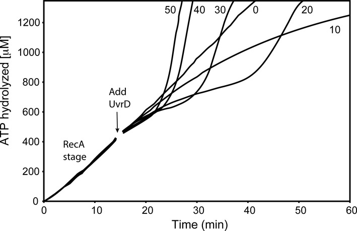 UvrD effects on RecA filaments are UvrD concentration-dependent. RecA (2 μM) filaments were allowed to form on 3 μM circular M13mp18 ssDNA in the presence of ATP and SSB (0.3 μM) as described in Materials and Methods. After 15 min (arrow), UvrD was added at the concentrations shown (in nM). The data following this addition have been corrected for a small decline in absorption caused by a dilution effect. The effects of UvrD are detected through changes in the consumption of ATP. The average rate of ATP hydrolysis in the early RecA stage (prior to UvrD addition) is 30 μM/min (yielding an apparent k cat (assuming all potential DNA binding sites are occupied by RecA) of 30 min −1 ), reflecting the near saturation of the 1 μM available RecA binding sites on the ssDNA.