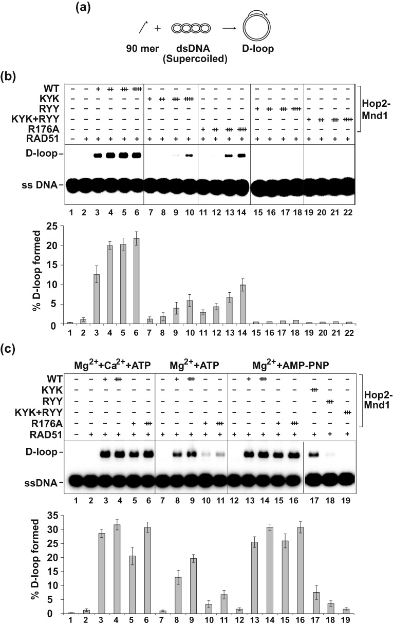 Examination of DNA binding mutants of Hop2-Mnd1 in the D-loop reaction catalyzed by RAD51. (a) Schematic of the D-loop reaction ( 23 ). (b) Wild type (WT) and mutant variants of the Hop2-Mnd1 complex (60 nM, 120 nM, 180 nM or 240 nM) were tested for their ability to promote D-loop formation with ATP as nucleotide cofactor. (c) WT and mutant variants of the Hop2-Mnd1 complex (60 nM or 180 nM) were tested for their ability to promote D-loop formation under three different sets of conditions: Ca 2+ +Mg 2+ +ATP (left panel), Mg 2+ +ATP (middle panel) and Mg 2+ +AMP-PNP (right panel). In (b) and (c), the mean values ± s.d. from three independent experiments were plotted.