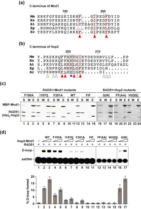 Hop2 and Mnd1 mutants defective in interaction with RAD51. (a) Alignment of the C-termini of Mnd1 orthologs. The arrowheads highlight the residues selected as mutagenesis targets. (b) Alignment of the C-termini of Hop2 orthologs. The arrowheads highlight the residues picked as mutagenesis targets (red arrowheads denote those residues that impair recombinase interaction when mutated; white arrowheads denote those mutations that do not affect recombinase interaction when mutated). The E201 residue that is deleted in a case of XX-GD is denoted by the asterisk. Note that there is only limited overall sequence similarity between the yeast and mammalian Hop2 and Mnd1 species in their C-terminal region (a and b), which could explain why the yeast Hop2–Mnd1 complex does not interact with Rad51. (c) Pulldown assay to test for the interaction of RAD51 with MBP-tagged Hop2-Mnd1 and mutants using amylose resin to capture protein complexes. Analysis was conducted as in Figure 4a . (d) Wild type (WT) and mutant variants of the Hop2-Mnd1 complex (90 or 180 nM) were tested for their ability to promote D-loop formation by RAD51. The mean values ± s.d. from three independent experiments were plotted. Abbreviations in (a) and (b): Mm, Mus musculus ; Hs, Homo sapiens ; At, Arabidopsis thaliana ; Sp, Schizosaccharomyces pombe ; Sc, Saccharomyces cerevisiae .