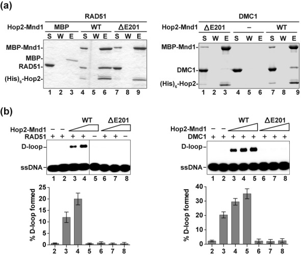Characterization of Hop2-Mnd1 with the XX-GD HOP2 p.Glu201del (ΔE201) mutation. (a) Pulldown assay to test for the interaction of RAD51 (left panel) or DMC1 (right panel) with MBP-tagged Hop2-Mnd1 and Hop2-ΔE201-Mnd1 using amylose resin to capture protein complexes. Analysis was conducted as in Figure 4a . (b) Hop2-Mnd1 and Hop2-ΔE201-Mnd1 (90 and 180 nM for RAD51; 60, 90 and 120 nM for DMC1) were tested for their ability to promote D-loop formation by RAD51 (left panel) or DMC1 (right panel). The mean values ± s.d. from three independent experiments were plotted.