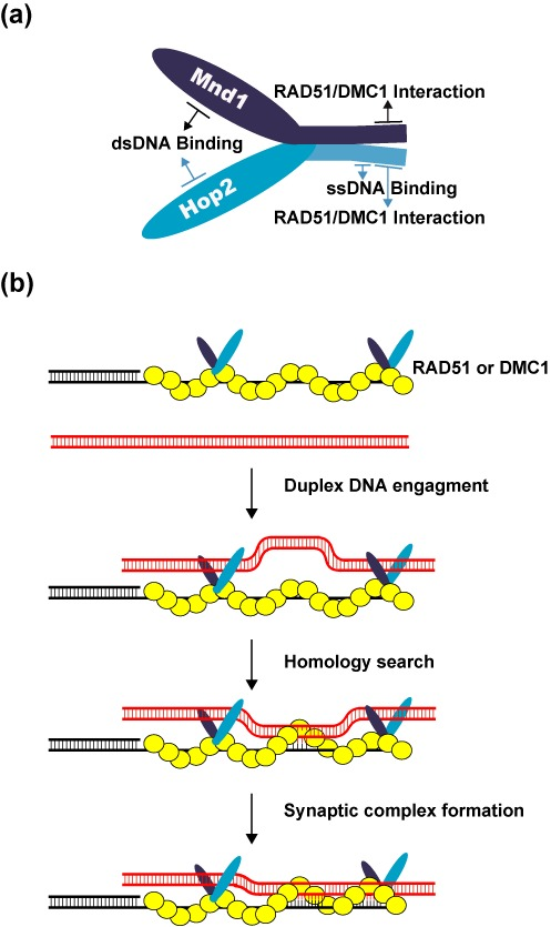 Model for the mechanism of the Hop2-Mnd1-RAD51/DMC1-ssDNA ensemble. (a) Cartoon showing the Hop2-Mnd1 complex and functional domains in the protein subunits. (b) Our model posits that Hop2–Mnd1 associates with RAD51/DMC1 through an interface contributed by the C-termini of Hop2 and Mnd1, stabilizes the RAD51/DMC1 presynaptic filament via its ssDNA-binding activity within the C-terminus of Hop2 and helps capture duplex DNA by its dsDNA binding functions located in the N-termini of Hop2 and Mnd1. These attributes of Hop2-Mnd1 enhance the efficiency at which a duplex DNA molecule is engaged and sampled for homology by the RAD51/DMC1 presynaptic filament.