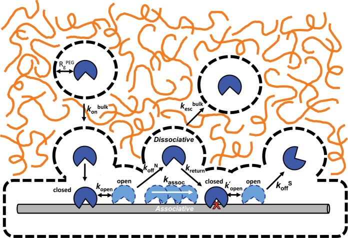 General schematic of how the introduction of molecular crowders (orange lines) can influence individual steps in the DNA glycosylase damage search pathway. These steps including the rate of diffusion to the DNA chain ( k on ), the lifetime of nonspecific (1/ k off N ) and specific (1/ k off S ) DNA complexes, the probability of associative and dissociative transfers between damage sites, and changes in the rate of product release (rate-limiting for k cat ). Dashed lines represent the sizes of the depletion layers surrounding the protein and DNA where the PEG 8K polymer, but not solv ent, is excluded. For large DNA molecules, association is limited by translation of the protein through the crowded solution ( k on bulk ) until their depletion layers overlap and association proceeds within a low viscosity environment. Also depicted are highly dynamic closed-to-open conformational changes in hUNG and hOGG1 that accompany nonspecific DNA binding ( 42 , 50 ); only the open state is viewed competent for translocation ( 50 ). Release of each enzyme from the product requires an even larger closed-to-open transition that has been shown to be at least partly rate-limiting for turnover of hUNG ( k′ open ) ( 46 ). Image is drawn to scale using a DNA duplex of 2 nm as a scale reference. The depletion layer size in the dilute regime for PEG 8K is shown (equivalent to R g PEG , see Supplemental Information).