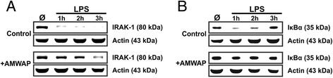 AMWAP prevents LPS-induced degradation of IRAK-1 and IκBα. Control and AMWAP-treated BV-2 microglia were incubated with 50 ng/ml LPS for 0, 1, 2, and 3 h, and cytosolic protein extracts were prepared. Immunoblot analysis of IRAK-1 (A) and IκBα (B) was carried out to determine the level of proteolytic degradation. In AMWAP-treated cells, both signaling molecules were protected from LPS-induced proteolysis. Resynthesized IκBα was detected after 2 and 3 h in control cells. Actin served as loading control.