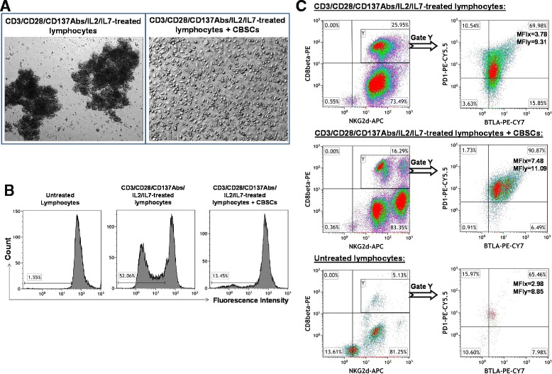 Ex vivo studies of the immune modulation of CB-SCs on T cells. (A) Phase contrast microscopy shows the formation of cell clusters in human peripheral blood-derived lymphocytes that were activated with Dynabeads coupled with anti-CD3, anti-CD28, and anti-CD137 antibodies, 50 U/ml rIL-2, and 5 ng/ml rIL-7 for 5 days, in absence (left panel) and presence (right panel) of CB-SCs. Co-culture with lymphocytes (top right panel) served as control. Original magnification, × 100. (B) Cell proliferation was analyzed with CellTrace™ CFSE Cell Proliferation Kit. Untreated lymphocytes (left panel) served as control. (C) Multi-color flow cytometry on CD8 + NKG2D + T cells. The gated CD8 + NKG2D + T cells were further analyzed for the expression of coinhibitory molecules BTLA and PD-1. Isotype-matched IgG Abs served as control for flow cytometry. Mean fluorescence intensity (MFI) was presented for CD8 + NKG2D + BTLA + PD-1 + T cells. Flow cytometry dot plots and the percentage of each population were representative of three independent experiments with similar results.