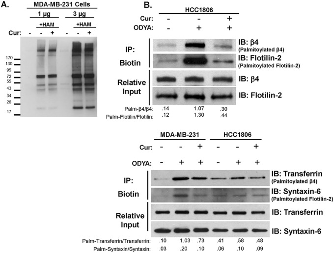 Curcumin does not indiscriminately block global cysteine modifications, but does reduce palmitoylation of proteins beside Integrin β4. (A) Acyl-biotin exchange was performed on protein from MDA-MB-231 cells treated with or without 15 μM curcumin for 18 hours. The presence or absence of hydroxylamine (HAM) during the reaction is used as a control for reaction specificity. Western blot analysis with streptavidin-HRP is shown depicting the banding pattern of S-acylated proteins from 1 or 3 mg of total protein. (B) HCC1806 or MDA-MB-231 cells (upper and lower panels where indicated) were pretreated with 15 μM curcumin for 1 hr prior to and during 5hr 17-ODYA labeling. Labeled proteins were reacted to biotin-azide via click chemistry and biotinylated proteins were isolated using streptavidin-sepharose. Palmitoylated protein was detected by western blot analysis using indicated antibodies. Representative blots of 3 independent experiments are displayed with relative input protein included and densitometry in arbitrary units.
